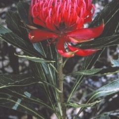 Telopea speciosissima (NSW Waratah) at South Pacific Heathland Reserve - 16 Sep 1996 by BettyDonWood
