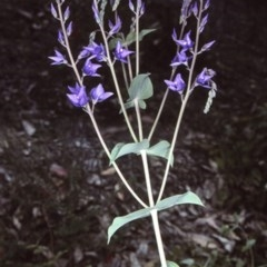 Veronica perfoliata (Digger's Speedwell) at Mogo State Forest - 2 Oct 1997 by BettyDonWood