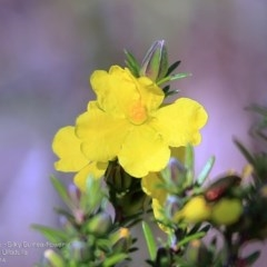 Hibbertia sp. (Guinea Flowe) at South Pacific Heathland Reserve - 29 Sep 2014 by Charles Dove