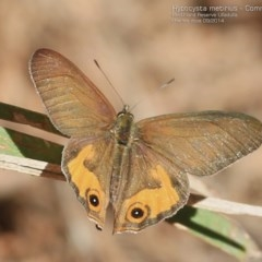 Hypocysta metirius (Brown Ringlet) at South Pacific Heathland Reserve - 28 Sep 2014 by Charles Dove