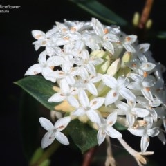 Pimelea linifolia (Slender Rice Flower) at South Pacific Heathland Reserve - 27 Sep 2014 by Charles Dove