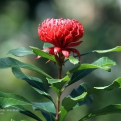 Telopea speciosissima (NSW Waratah) at South Pacific Heathland Reserve - 27 Sep 2014 by Charles Dove
