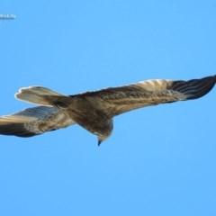 Haliastur sphenurus (Whistling Kite) at South Pacific Heathland Reserve - 30 Sep 2014 by Charles Dove