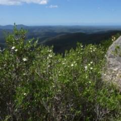 Leptospermum deuense at Deua National Park - 6 Jan 2012 by JackieMiles