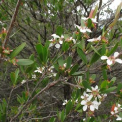 Leptospermum subglabratum at Deua National Park - 6 Jan 2012 by JackieMiles