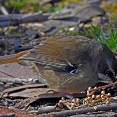 Sericornis frontalis (White-browed Scrubwren) at ANBG - 19 Jul 2018 by RodDeb