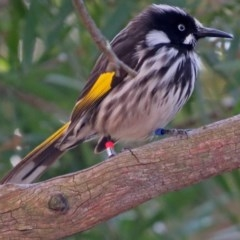Phylidonyris novaehollandiae (New Holland Honeyeater) at ANBG - 19 Jul 2018 by RodDeb