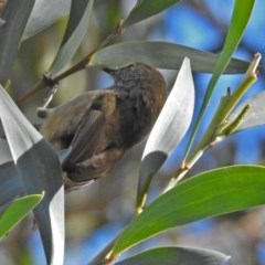 Acanthiza pusilla (Brown Thornbill) at ANBG - 19 Jul 2018 by RodDeb