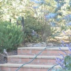 Cinclosoma punctatum (Spotted Quail-thrush) at Wamboin, NSW - 5 Apr 2018 by natureguy
