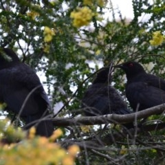 Corcorax melanorhamphos (White-winged Chough) at Wamboin, NSW - 28 Oct 2016 by natureguy