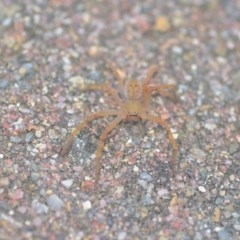 Sparassidae sp. (family) (A Huntsman Spider) at Wamboin, NSW - 14 Apr 2018 by natureguy
