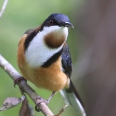 Acanthorhynchus tenuirostris (Eastern Spinebill) at Milton Rainforest Walking Track - 23 Sep 2014 by Charles Dove