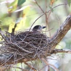 Cracticus torquatus (Grey Butcherbird) at Hazel Rowbotham Reserve Walking Track - 21 Sep 2014 by CharlesDove