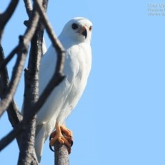Accipiter novaehollandiae (Grey Goshawk) at Coomee Nulunga Cultural Walking Track - 22 Sep 2014 by Charles Dove