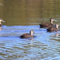 Anas superciliosa (Pacific Black Duck) at Wairo Beach and Dolphin Point - 22 Sep 2014 by Charles Dove