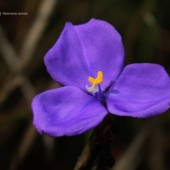 Patersonia sp. at South Pacific Heathland Reserve - 22 Sep 2014 by Charles Dove