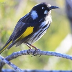 Phylidonyris novaehollandiae (New Holland Honeyeater) at One Track For All - 7 Sep 2014 by Charles Dove