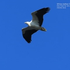 Haliaeetus leucogaster (White-bellied Sea-eagle) at One Track For All - 7 Sep 2014 by Charles Dove