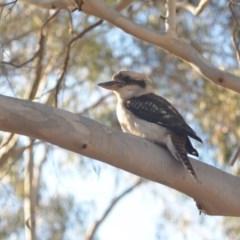 Dacelo novaeguineae (Laughing Kookaburra) at Wamboin, NSW - 19 May 2018 by natureguy