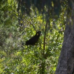 Calyptorhynchus funereus (Yellow-tailed Black-Cockatoo) at Wamboin, NSW - 29 May 2018 by natureguy
