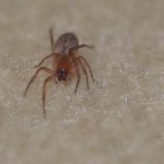 Clubiona sp. (genus) (Unidentified Stout Sac Spider) at Wamboin, NSW - 21 Jun 2018 by natureguy