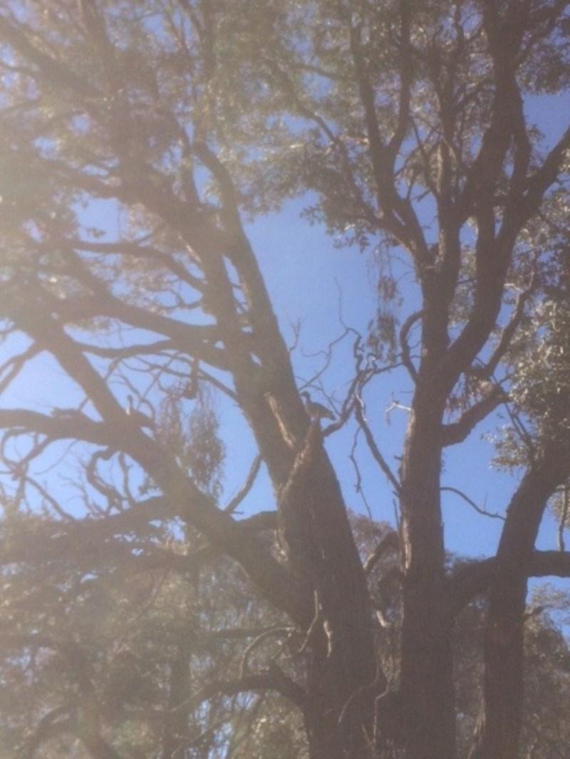 Chenonetta jubata at Deakin, ACT - 21 Jul 2018
