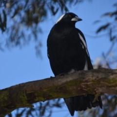 Gymnorhina tibicen (Australian Magpie) at Wamboin, NSW - 24 Jun 2018 by natureguy