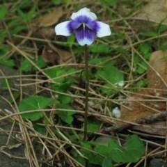 Viola banksii (Native Violet) at Monga National Park - 5 Nov 2014 by JackieMiles