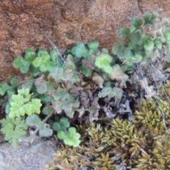 Pleurosorus rutifolius (Blanket Fern) at Pine Island to Point Hut - 17 Jul 2018 by michaelb