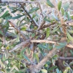 Melicytus angustifolius subsp. divaricatus (Divaricate Tree Violet) at Black Flat at Corrowong - 21 Jul 2018 by BlackFlat