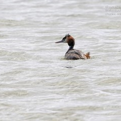 Podiceps cristatus (Great Crested-grebe) at Jervis Bay National Park - 2 Oct 2014 by Charles Dove