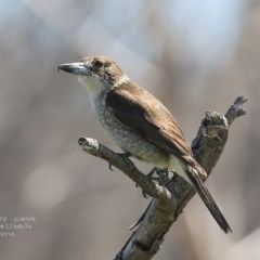 Cracticus torquatus (Grey Butcherbird) at South Pacific Heathland Reserve - 1 Oct 2014 by Charles Dove
