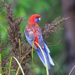 Platycercus elegans (Crimson Rosella) at South Pacific Heathland Reserve - 5 Nov 2014 by Charles Dove