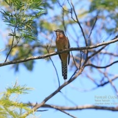 Cacomantis flabelliformis (Fan-tailed Cuckoo) at Yatteyattah Nature Reserve - 31 Oct 2014 by Charles Dove