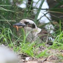 Dacelo novaeguineae (Laughing Kookaburra) at Narrawallee Foreshore Reserves Walking Track - 4 Nov 2014 by Charles Dove