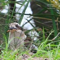Dacelo novaeguineae at Narrawallee Foreshore Reserves Walking Track - 5 Nov 2014
