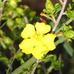Hibbertia diffusa (Wedge Guinea Flower) at South Pacific Heathland Reserve - 7 Nov 2014 by NicholasdeJong