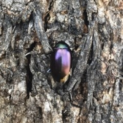 Chalcopteroides columbinus (Rainbow darkling beetle) at Illilanga & Baroona - 8 Jul 2018 by Illilanga