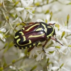 Eupoecila australasiae (Fiddler Beetle) at Illilanga & Baroona - 22 Jan 2012 by Illilanga