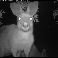 Macropus giganteus (Eastern Grey Kangaroo) at Illilanga & Baroona - 18 Oct 2016 by Illilanga
