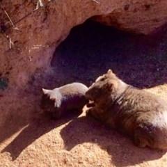 Vombatus ursinus (Wombat) at Black Flat at Corrowong - 23 Aug 2017 by BlackFlat