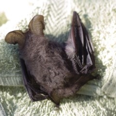 Nyctophilus geoffroyi (Lesser Long-eared Bat) at Illilanga & Baroona - 6 Jul 2013 by Illilanga