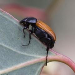 Phyllotocus rufipennis (Nectar scarab) at Illilanga & Baroona - 3 Nov 2017 by Illilanga