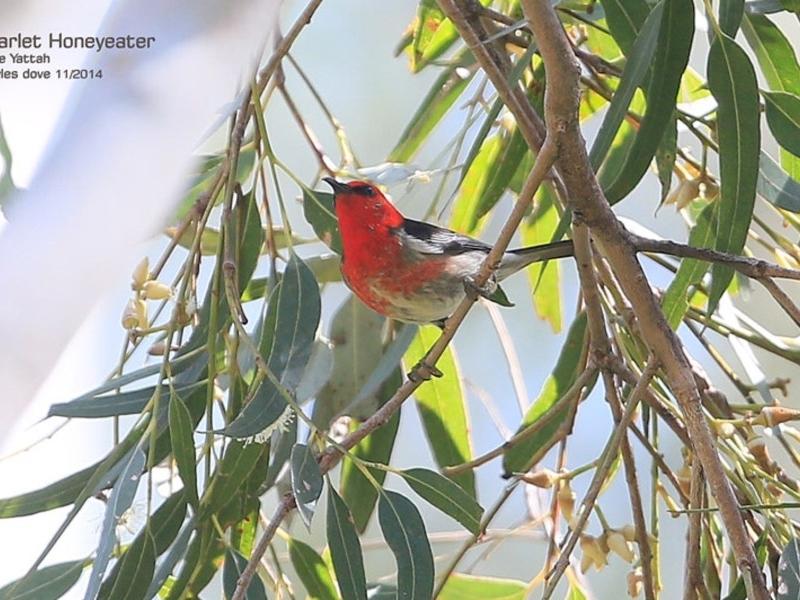 Myzomela sanguinolenta at Yatteyattah Nature Reserve - 1 Nov 2014