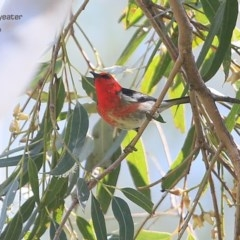Myzomela sanguinolenta (Scarlet Honeyeater) at Yatteyattah Nature Reserve - 31 Oct 2014 by Charles Dove