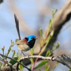Malurus lamberti (Variegated Fairy-wren) at Coomee Nulunga Cultural Walking Track - 4 Nov 2014 by CharlesDove