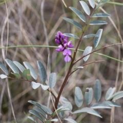 Indigofera australis subsp. australis at Illilanga & Baroona - 27 Sep 2010
