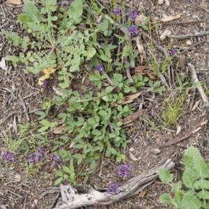 Glycine tabacina at Michelago, NSW - 14 Nov 2010