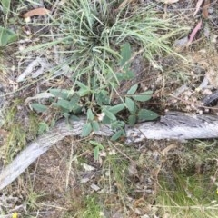 Desmodium brachypodum at Michelago, NSW - 3 Jan 2018