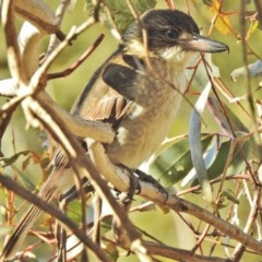 Cracticus torquatus (Grey Butcherbird) at Jerrabomberra Wetlands - 24 Jul 2018 by JohnBundock